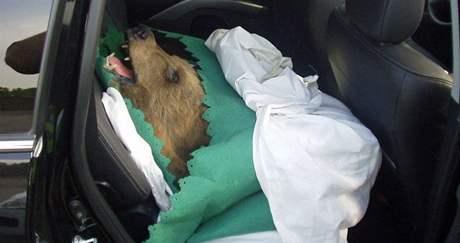 Dvě medvědí kůže s hlavou a dva kusy masa z medvěda hnědého zadrželi celníci na bývalém hraničním přechodu Břeclav -dálnice
