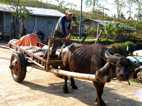 Vodní buvol, tradiční pomocník filipínských farmářů