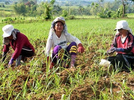 Ženy v Miarba plejí mladou cukrovou třtinu. Jako členky družstva mají stejná rozhodovací práva jako muži