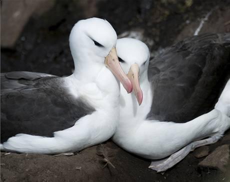 Páry společně hnízdících samic albatrosů nejsou ničím výjimečným.