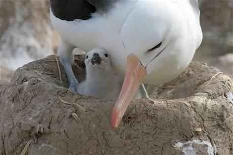 Hnízdo albatrosa je určeno jen pro jedno vejce. Pokud snesou vejce obě samice, které žijí spolu, sedí jen na jednom.