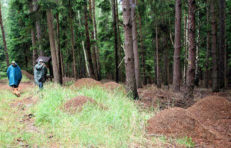 Šebeň, zejména podél lesních cest tvoří mraveniště jednotlivé linie