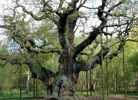 Velká Británie, nejstarší dub v Sherwoodském lese, kde se prý ukrýval Robin Hood