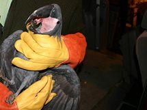Jihomoravští celníci zadrželi na dálnici D2 při kontrole českého řidiče pět chráněných papoušků Kakadu palmových