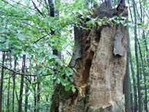 Poslední prales Velkomeziříčska