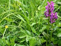Dvojice prstnatců májových, orchideje a jednoho z reprezentantů vzácné květeny Mrázkovy louky