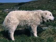Rumunsko, Rodna, ovčácký pes