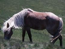 Rumunsko, Maramureš, polodivoký kůň