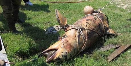 Ropou pokrytý mrtvý delfín na břehu Louisiany 23. května 2010