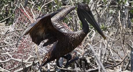 Ropná skvrna zasáhla pobřeží Louisiany, mazlavá hmota utkvěla i na křídlech tisíců pelikánů
