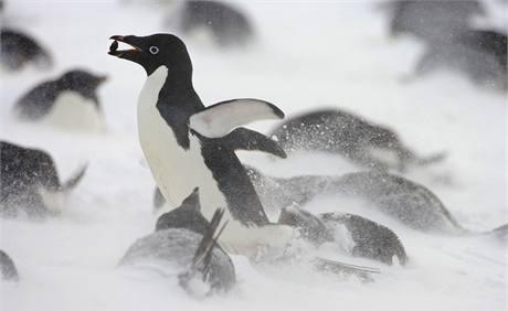 Tučňák kroužkový (Pygoscelis adeliae) patří mezi nejběžnější obyvatele pobřeží Antarktidy. Celkový počet se odhaduje na 5 milionů jedinců.