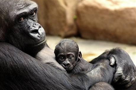 Mládě narozené v pražské zoo 24. dubna 2010 je kluk.