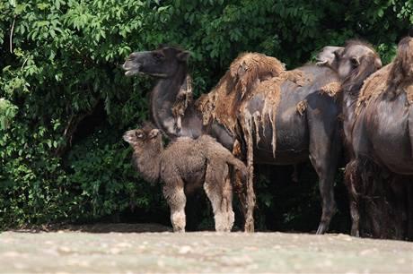 Velbloudí rodinka s mládětem.