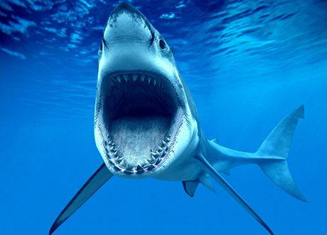 Bílý žralok