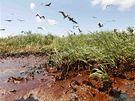 Ropou zamořená zátoka Barataria na pobřeží USA (22. května 2010)