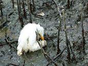 Mládě volavky umírá v ropou zamořeném pobřeží v Barataria Bay v USA (23. května 2010)