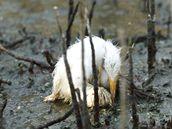 Mládě volavky umírá v ropou pokryté Baratarijské zátoce u pobřeží Louisiany. (24. května 2010)