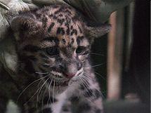 Mládě levharta obláčkového z pražské zoo při očkování a čipování.