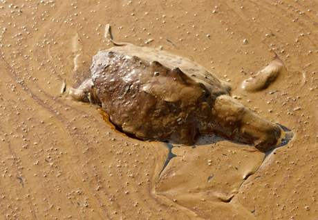 Mrtvá želva u pobřeží Lousiany (8. června 2010)
