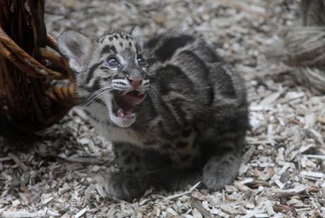 Levhartí kočičce v pražské zoo budou za pár dní tři měsíce.