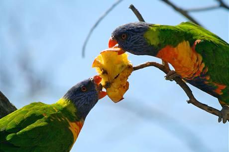Papoušky postižené neznámou chorobou veterináři krmí ovocem a ovesnou kaší. Ilustrační foto