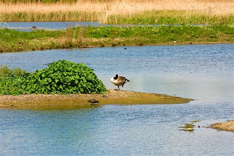 V londýnském mokřadním centru mají ptáci skvělé podmínky – vodní hladina je přerušována množstvím malých ostrůvků.