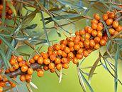 Zlaté plody rakytníku