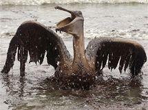 Zvířecí oběti ropné katastrofy v Mexickém zálivu.