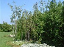 I obyčejné břízy vnesou do zahrady čistou a uklidňující bílou barvu.