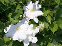 Od jara se v bílé zahradě objevují bílé květy keřů i květin, například plamének.