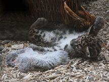 """Levhartí mládě je nejaktivnější kolem krmení, """"mrtvá kořist"""" je pro něj ideálním objektem ke hře."""