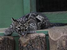 Téměř tříměsíční levhartí kočička v pražské zoo dostala jméno Mao. V expozici už je k vidění každý den, společně se svými rodiči.