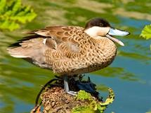 Části mokřadního centra je věnována kachnám z nejrůznějších koutů světa. Čírka pestrá (Anas versicolor) se v přírodě vyskytuje v Jižní Americe, hlavně ve středním Peru.