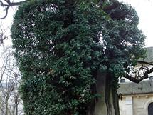 Nejstarší strom v Paříži - byl zasazený v roce 1602