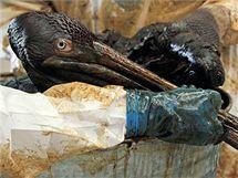 Pracovníci záchraného centra v Burasu očišťují pelikána pokrytého ropou.