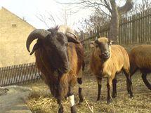 Kamerunské ovce připomínají spíše kozy