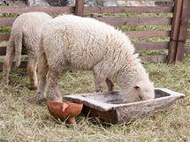 Ovce potřebují přístup k vodě i do stínu