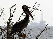 Mořští ptáci v Mexickém zálivu. (28. června 2010)