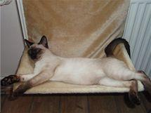 Jako všechny kočky i thajky umějí žít