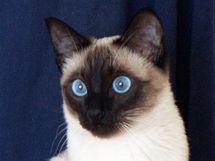 Thajská kočka