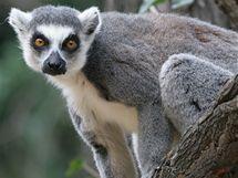 Lemur kata v pra�sk� zoo.