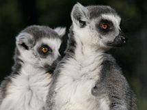 Lemurov� kata v pra�sk� zoo.