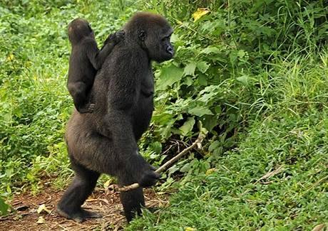 Gorilí samice s holí v ruce nese na zádech mládě