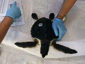 Veterináři v New Orleans ošetřují ropou zasažené želví mládě (9. července 2010)