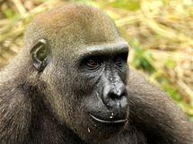 Gorily z parku Mefou
