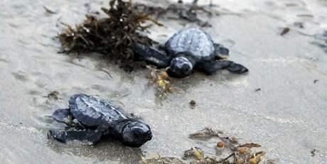 Ohrožená želví mláďata při vypouštění do vod Mexického zálivu u břehů Texasu. Vědci doufají, že než se mláďata dostanou do postižených oblastí, ty budou čisté (26. července 2010)