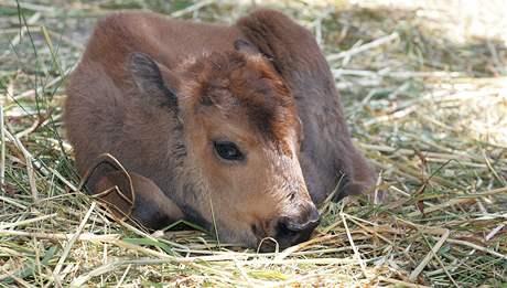 Nové přírůstky v brněnské Zoo - mládě bizona amerického.