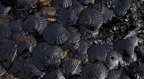 Mušle obalené ropou po havárii ve Žlutém moři (26. července 2010)