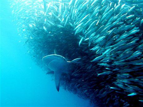 Žraloci udržují světový ekosystém v rovnováze
