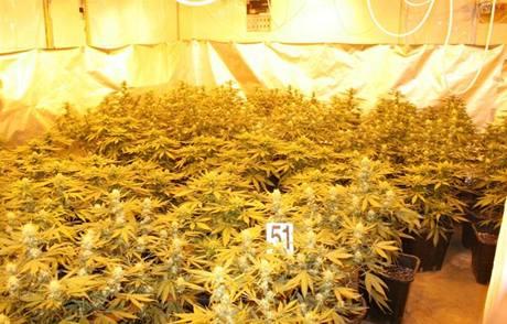 Pěstírna marihuany v Podbořanech